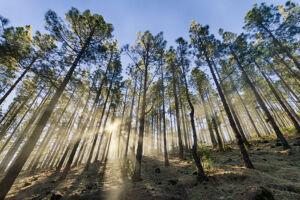 Luces entre pinos y niebla - Vicente R. Bosch