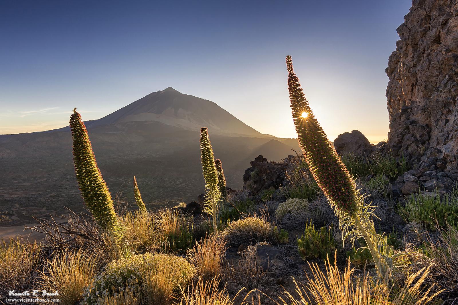 Tajinastes en el Teide
